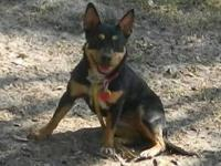 Shepherd - Six - Small - Young - Female - Dog Six is a