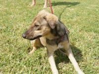 Shepherd - Skeeter - Medium - Baby - Male - Dog Skeeter