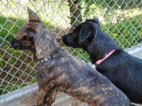 Shepherd - Sussie And Sasha - Medium - Adult - Female -