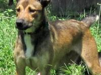 Shepherd - Troy - Medium - Young - Male - Dog Please