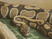 Ball Pythons (Python regius) are snakes, which are