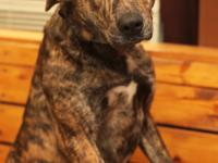 Sheridan-Catahoula Mix  Color: Brindle 18 month old