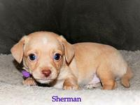 Sherman's story This tiny 8 week old fella is Sherman..