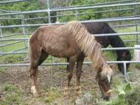 have 3 ponies 2 registered mares 1 pure bred gelding,