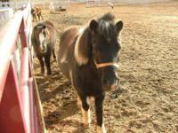 Shetland Pony - Buster - Medium - Adult - Male - Horse