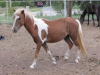Shetland Pony - Indian - Medium - Adult - Male - Horse