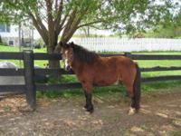 Shetland Pony - Lily - Medium - Adult - Female - Horse