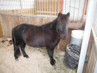 Shetland Pony - Mingo - Small - Adult - Male - Horse