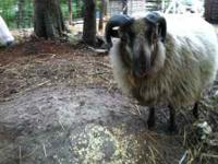 I have a Shetland Ram for sale he is approx. 10 months