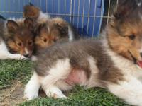 AKC Shetland Sheep Dog Puppies, Vet Checked, Dew claws