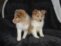 Male Sheltie puppies, First Shots, Vet Checked, Created