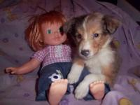 Female Sheltie puppy Gracie is a loving sweet girl