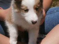 We are two male shetland sheepdog puppies looking for a
