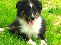 Cody Shetland Sheepdog Sheltie Senior Adoption Rescue For Sale In