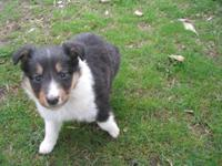 3 male and 3 female Shetland Sheepdog puppies. Born