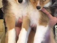 Hello, We have a beautiful female Sheltie puppy