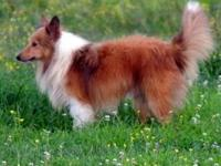 We are retiring all of our Shetland Sheepdogs so Romeo