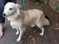 Shetland Sheepdog Sheltie - Alice - Medium - Young -