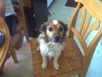 Shetland Sheepdog Sheltie Email [email removed] for an
