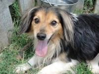 Shetland Sheepdog Sheltie - Andrew - Small - Adult -