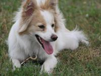 Shetland Sheepdog Sheltie - Angel - Medium - Young -