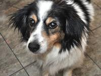 Shetland Sheepdog Sheltie - Angelina- $75 In July! -