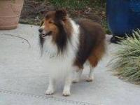 Shetland Sheepdog Sheltie - Benjamin - Medium - Adult -