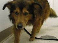 Shetland Sheepdog Sheltie - Brando - Medium - Adult -