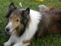 Shetland Sheepdog Sheltie - Chance - Small - Adult -