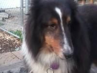 Shetland Sheepdog Sheltie - Daphney - Medium - Adult -