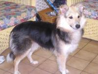 "Shetland Sheepdog Sheltie - "" Lady "" 195-12 - Medium -"