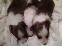 I have 3 AKC sheltie puppies born march 25. One Sable