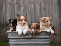 We have 4 sheltie puppies still available. 3 are sable