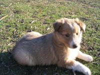 6 fat healthy energetic adorable Sheltie young puppies