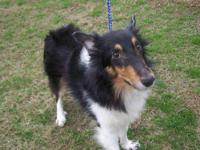 Shetland Sheepdog Sheltie - Rocket - Medium - Young -