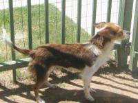 Shetland Sheepdog Sheltie - Tillie - Small - Young -