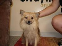 Shetland Sheepdog Sheltie - Zeke - Small - Adult - Male