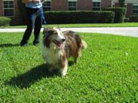 Shetland Sheepdog Sheltie - Zephyr - Medium - Adult -
