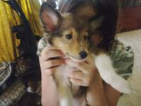 They Are 3 months old Shetland Sheepdogs They was born