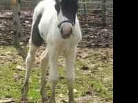 Toby is a black and white shetland colt, born 4/20/11,
