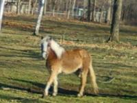 Shetland Pony - Shetland - Small - Adult - Female -