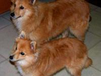 I'm looking to rehome a Shetland Sheepdog mix. Due to