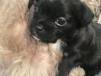 Born 4-23-18 to AKC registered Shitzu and Chihuahua.