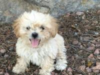 Selling 3 female shihtzu-poodle mix puppies. Born july