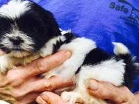 I have two full-blooded male Shi Tzu's 6 weeks old for