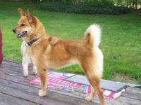 Shiba Inu - China - Medium - Young - Female - Dog China
