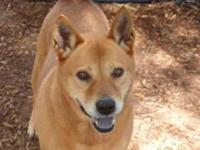 Shiba Inu - D33 - Large - Adult - Female - Dog Age: 6
