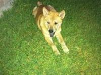 Shiba Inu - Kara - Medium - Baby - Female - Dog Tejas