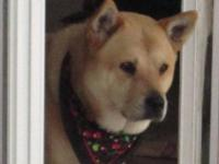Shiba Inu - Molly - Medium - Adult - Female - Dog Well