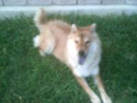 Shiba Inu - Naomi - Medium - Young - Female - Dog Tejas